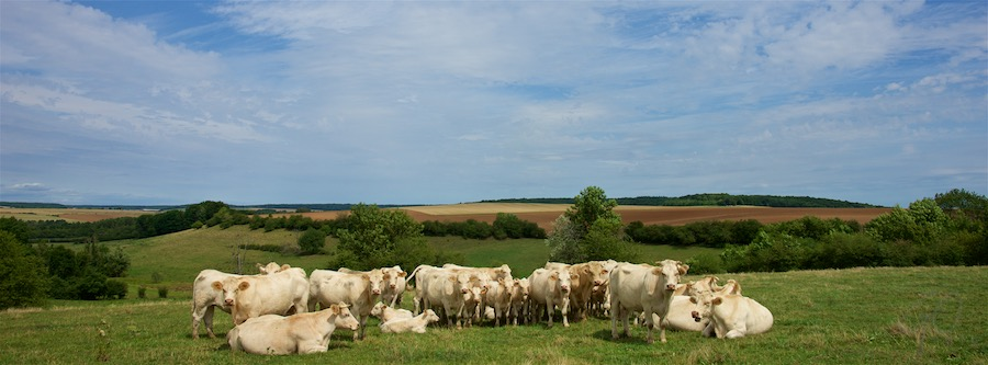France 2017 - Haute Marne - White cows