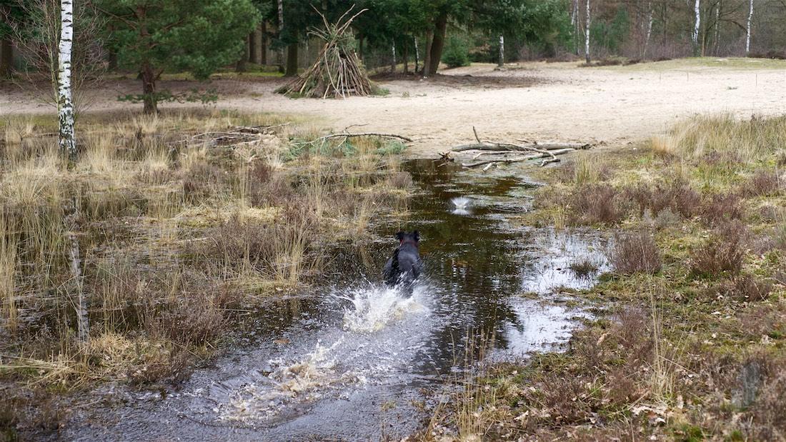 Balou de leenhond. Foto van een hond die door een waterplas rent.