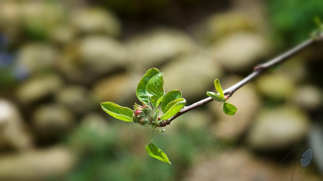 De Appelboom. Foto van een tak met bloesem.