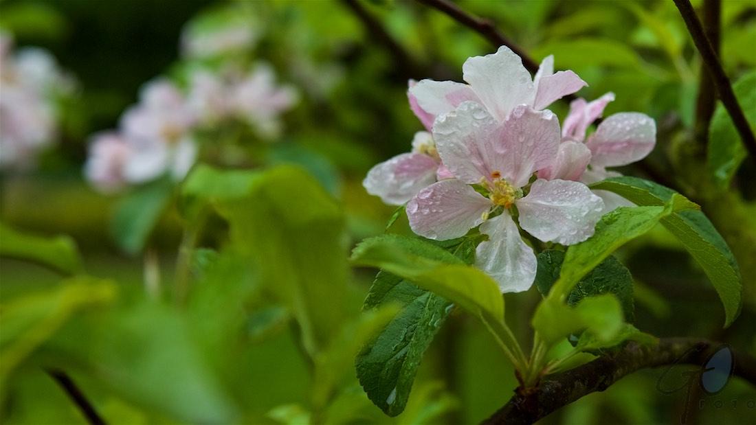 De Appel in de achtertuin vanaf 2012 . Appelbloesem.
