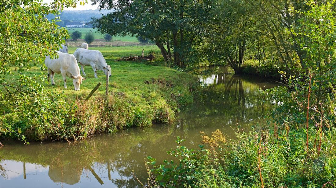 de-nieuwe-toekomst-van-ruth-koeien-in-limburgs-landschap