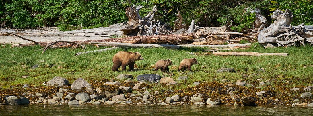 Grizzlyfamilie in Knight Inlet, Canada