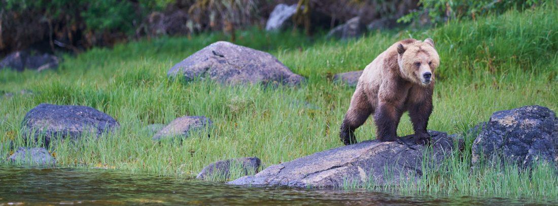 Grizzlybeer op steen langs de waterkant. Knight Inlet, Canada.