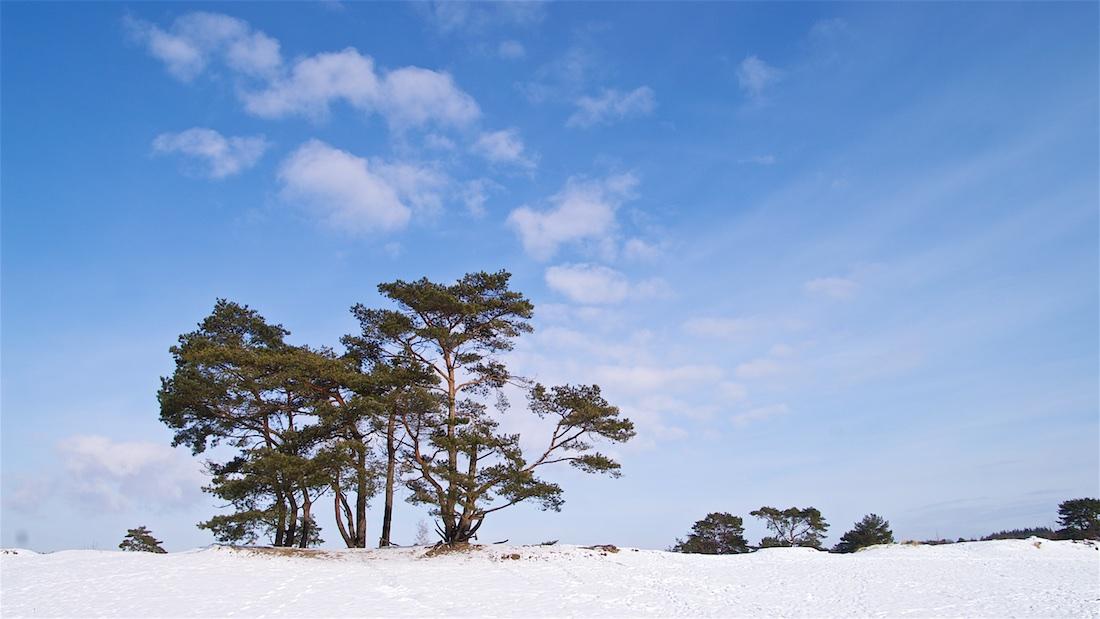 Luchtwortelbomen in de Soesterduinen